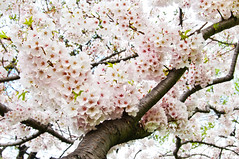 Cherry Blossom Full Bloom (Sky Noir) Tags: trees usa flower festival japan cherry photography japanese centennial dc washington spring blossom unitedstatesofamerica blossoms peak basin full national bloom  sakura 1912 tidal 2012 prunus   serrulata skynoir