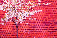 Spring blossoms (5ERG10) Tags: uk flowers red england orange white tree brick london sergio wall cherry march petals nikon meetup weekend branches board south blossoms group saturday monopoly photowalk bermondsey nikkor oldkentroad 28300mm peckham 2012 flickrmeetup d300 amiti 5erg10 upcoming:event=8795378