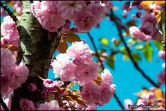 Spring2012_03.jpg (Magicien rieur) Tags: flowers fleurs spring nikon printemps flowerwatcher nikond3