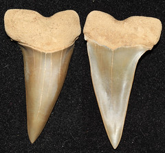 Mako (Isurus Hastalis) (Fossiltoothpic) Tags: macro animal animals canon tooth fossil shark teeth paleontology prehistoric extinct fossils mako sharkteeth sharktooth 100mmmacro miocene canoneos7d fossilsharktooth fossiltooth fossilteeth isurushastalis broadtoothed