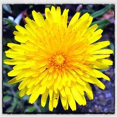 Let the sun shine (nbcmeissner) Tags: germany deutschland dandelion norddeutschland niedersachsen lowersaxony lwenzahn ipad northerngermany commondandelion canondigitalixus870is snapseed