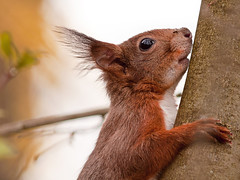 Curious Squirrel (Terapixel) Tags: tree animal squirrel wildlife baum tier eichhrnchen novoflex wildnis