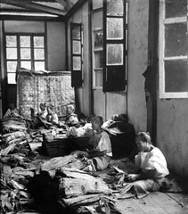 Assorting leaf tobacco in a cigar factory, Manila, Philippines, early 20th Century (J. Tewell) Tags: philippines cigar manila tobacco manilacigar