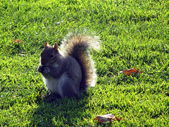 Squirrel in London (by_irma) Tags: park london squirrel londen greenwichpark eekhoorn coth