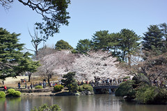 Cherry Blossom 2012 (Calvin.ipsy) Tags: japan 35mm cherry shinjuku blossom sony summicron gyoen f2 asph nex7