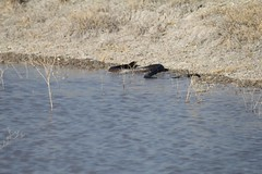 """Indigo snake • <a style=""""font-size:0.8em;"""" href=""""http://www.flickr.com/photos/77680067@N06/7070829855/"""" target=""""_blank"""">View on Flickr</a>"""