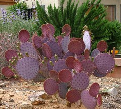 Santa Rita Opuntia. (troupial) Tags: cactus cacti opuntia cactuses pimacounty pimacountyarizona santaritaopuntia