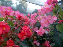 BEGONIAS (patriciamura) Tags: chile flowers cactus flores flower tree nature garden arbol flora plantas blossom flor jardin botanic jardines botanica copiapo worldflowers