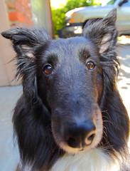 All nose (John M Anderson) Tags: dog nose nebraska long sheep sheltie champion canine omaha herd gemini shetland