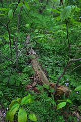 (b l a u m) Tags: flowers plants tree nature water field grass leaves creek forest river outdoors moss log vines weeds woods branch outdoor path hike trail bark wildflowers wilderness