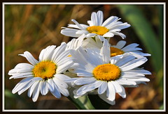 Daisies (Eve'sNature) Tags: flowers white nature daisies garden blinkagain