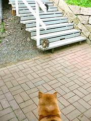 Shiba Inu, Aiki & a Cute Visitor (kyweb) Tags: dog cute oslo norway cat kitten friendly shibainu shiba 猫 犬 lostcat inu 柴犬 japanesedog ヨーロッパ 海外 ノルウェー 子猫 柴 オスロ 日本犬 迷い猫