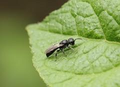 Small digger wasp? (Ecteminius sp? thanks to Insect~O~Saurus for the possible ID) (Pog's pix) Tags: macro insect wasp diggerwasp