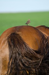 Giddy-Up!  (Bird Going for a Ride) (C-Dals) Tags: horse bird nikon ride morgan nikkor 70300mmf4556gvr d5100 tp242