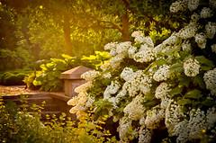 The Golden Hour (Life in Bloom Photography) Tags: sunset flower green hydrangea goldenlight decatural delanoparkrosegarden albanyheritagehistoricaldistrict