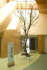 Sobreiro (Quercus suber) corte longitudinal