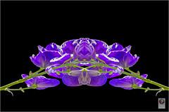 IMG_7129-Bearbeitet Kopie (kurvenalbn) Tags: fauna flora natur pflanzen blumen garten muster weinberg knigswinter pfalnzen oberdollendorf