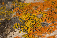 Orange and yellow colored lichen on a rock (Arno Enzerink) Tags: red orange color nature colors yellow rock horizontal stone composite landscape photography sand rocks colorful pattern stones patterns shapes structures structure fungi fungus lichen organic shape orientation ascomycota organism photosythesis mycobiont eukarya lecanorales lecanoromycetidae lecanoromycetes pezizomycotina parmeliaceae flavoparmelia