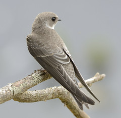 Young Sandmartin (Garry1968) Tags: sandmartin