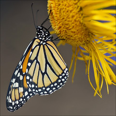 Monarch (Foto Martien (thanks for over 2.000.000 views)) Tags: holland colour macro netherlands beautiful dutch butterfly insect wings university utrecht colorfull sony nederland papillon alpha mariposa coloured geotag botanicalgarden universiteit slt wanderer schmetterling vlinder kleurrijk a77 macrophoto butterflyhouse monarchbutterfly kleuren polychrome geotagging butterflygarden bont monarque danausplexippus veelkleurig macrofoto kleurig mariposamonarca thegalaxy botanischetuin borboletamonarca vlinderhuis vlinderhof monarchfalter monarchvlinder martienuiterweerd amerikanischemonarch martienarnhem mygearandme mygearandmepremium minoltamacro100mm28mm mygearandmebronze mygearandmesilver mygearandmegold mygearandmeplatinum mygearandmediamond fotomartien overdektevlindertuin slta77v a77v sonyalpha77 rememberthatmomentlevel4 geotaggedwithgps rememberthatmomentlevel1 rememberthatmomentlevel2 rememberthatmomentlevel3 rememberthatmomentlevel5 rememberthatmomentlevel6