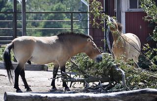 Prezewalskin hevonen