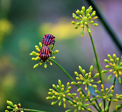 Love Bugs. (neera*) Tags: love insects insetti explored