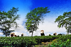 Women Harvesting Tea (e.nhan) Tags: blue sky nature landscape women tea harvesting enhan