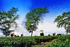 Women Harvesting Tea (e.nhan) Tags: blue sky nature landscape women tea harvesting enhan