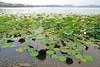 Il loto a Viverone (STE) Tags: lake lago photography photo foto photographer photos fotografia loto stefano fotografo trucco viverone ninfee nucifera nelumbium lutus zush stefanotrucco