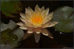 Waterlily (LoBsTeRbig) Tags: flower waterlily close dsc08144