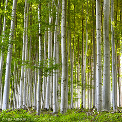 enchanted forest (Mia Minor) Tags: wood trees summer tree green nature forest nikon trunks moravia