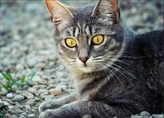 Addio dolcissima  Micky  (Viola's visions ) Tags: cats pets animals kittens felini felines gatti animali gattini mygearandme mygearandmepremium mygearandmebronze mygearandmesilver mygearandmegold