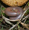 Millipede And Scleroderma Puffball... (Sea Moon) Tags: red orange brown macro grey us big unitedstates skin gray hard bands fungus northamerica curled defensive armored millipede puffball inedible banded warty myriapod narceusamericanus myriapoda diplopoda narceus thousandlegger myriopod narceusamericanusannulariscomplex spirobolida spirobolidae