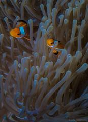 IMG_4034.jpg (Vaajis) Tags: underwater diving malaysia tioman anemonefish seaanemone