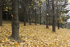 Golden carpet (tmo222) Tags: autumn trees toronto canada fall leaves landscape fallen