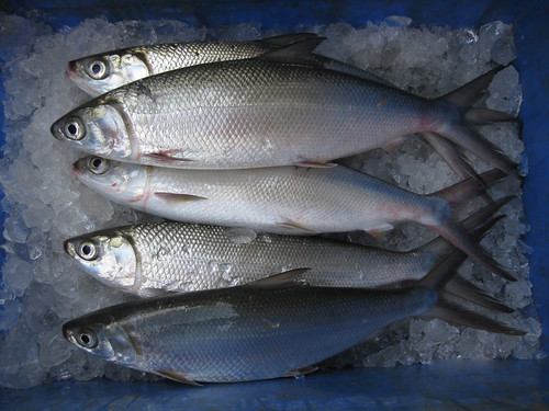 Milkfish in India. Photo by Arun Padiyar, 2011.