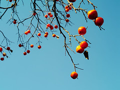 IMGP9955 (oasisframe) Tags: blue autumn trees red fall yellow fruit bluesky korea persimmon southkorea fruitful     persimmontrees koreaimage