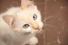 (deadoll) Tags: cats cute love cat canon fur furry kat feline chat amor blueeyes adorable kitty kittens 7d gata felinos felino felines neko katze fofo gatto babys gatti whitecat pur doof gatas canon7d