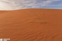 Saudi Arabia - Riyadh - Desert - A Lonely Life In Winter (Sarah Al-Sayegh Photography | www.salsayegh.com) Tags: sunset canon desert kuwait saudiarabia الصحراء landscapephotography السعودية كانون leefilters الرمال canoneos5dmarkiii canon5dmark3 wwwsalsayeghcom sarahhalsayeghphotography infosalsayeghcom