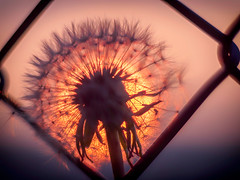 framed (HFF) (StadtKind - capture the Bokeh) Tags: sunset fence deutschland dawn warm europa sonnenuntergang dof bokeh olympus friday pusteblume kempten lowpov helois442 fencedfriday olymusem10markii