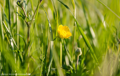 The lonely Buttercup. (andreasheinrich) Tags: nature grass germany deutschland evening abend spring colorful warm buttercup natur sunny april gras sonnig frhling badenwrttemberg butterblume farbenfroh neckarsulm dahenfeld nikond7000