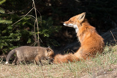 Red Fox Mom & Kit (NicoleW0000) Tags: red wild canada nature animal photography wildlife mother fox kit carnivore