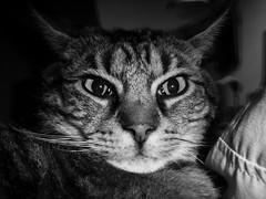 Der Tijer (chicitoloco) Tags: cat catnap gato neko katze der kater katzo tijer dertijer nekogasuki