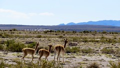 - 2016-05-05 at 20-10-37 + vicuna family at the Salt Hotel