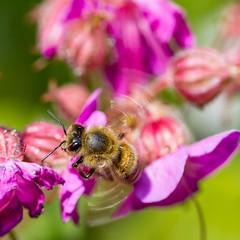 approaching (w.lichtmagie) Tags: flower macro garden insect flying ngc bee blume insekt garten biene canonefs60mm fliegend