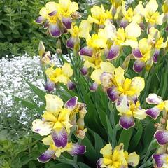 I colori della primavera (Luciana.Luciana) Tags: flowers iris primavera spring colours giallo fiori viola colori printemps frhling