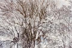 Fifth Disintegration (pni) Tags: tree suomi finland helsinki branch multipleexposure helsingfors tripleexposure multiexposure skrubu pni pekkanikrus