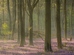The Month of May (Damian_Ward) Tags: wood morning trees bluebells woodland photography hampshire beech bluebellwoods harebell micheldever hyacinthoidesnonscripta nonscripta commonbluebell damianward damianward thescruubbs