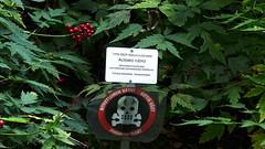 Actaea rubra (Ranunculaceae) (Kumpula Botanic Garden, Helsinki, 20150730) (RainoL) Tags: 19950529 2015 201507 20150730 actaea actaearubra botanicalgarden fin finland flower flowers garden geo:lat=6020270983 geo:lon=2495468467 geotagged gumtäktbotaniskaträdgård helsingfors helsinki july kanadensisktrolldruva kumpula kumpulankasvitieteellinenpuutarha lännenkonnanmarja nyland plant plants ranunculaceae summer uusimaa kumpulabotanicgarden gumtäkt