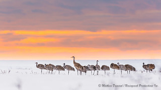 Sandhill cranes in the sunset-3226